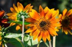 Die super wunderbare Spitze der Sonnenblume entlang dem Superguten tag Lizenzfreies Stockfoto