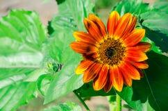 Die super wunderbare Spitze der Sonnenblume entlang dem Superguten tag Stockbild