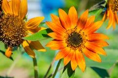 Die super wunderbare Spitze der Sonnenblume entlang dem Superguten tag Stockfoto