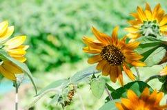 Die super wunderbare Spitze der Sonnenblume entlang dem Superguten tag Stockbilder
