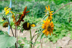 Die super wunderbare Spitze der Sonnenblume entlang dem Superguten tag Stockfotografie