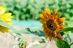 Die super wunderbare Spitze der Sonnenblume entlang dem Superguten tag Lizenzfreie Stockfotos