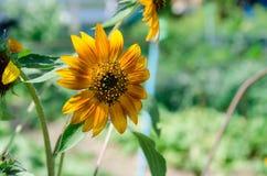 Die super wunderbare Spitze der Sonnenblume entlang dem Superguten tag Lizenzfreies Stockbild