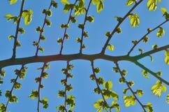 Die symmetrischen Niederlassungen in einem Baum Stockfotografie