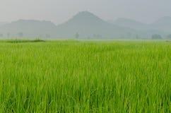 Die Szene des grünen Reisfeldes lizenzfreies stockbild