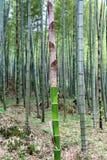 Die Szenen des Bambuswaldes Lizenzfreies Stockbild