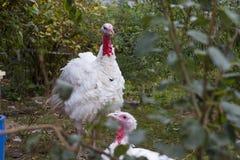 Die Türkei auf einem Bauernhof, züchtende Truthähne lizenzfreies stockbild