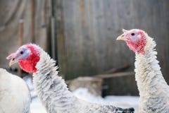 Die Türkei auf einem Bauernhof, züchtende Truthähne Truthähne auf dem Bauernhofyard im Dorf stockbild