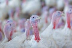 Die Türkei auf einem Bauernhof, züchtende Truthähne Die Türkei auf dem Whit stockfotos