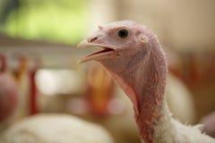 Die Türkei auf einem Bauernhof, züchtender Truthahn Lizenzfreie Stockfotos
