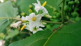 Die Türkei-Beere, verscheuchen-verscheuchen Busch, wilde Aubergine, Erbsenaubergine, Erbsenaubergine, Blumen Lizenzfreie Stockbilder