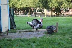Die Türkei, die im Kind-Bauernhof steht Stockfotografie