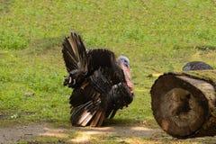 Die Türkei geht auf die Wiese im Stadtpark stockfotos