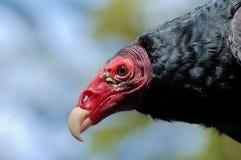 Die Türkei-Geier Lizenzfreies Stockfoto