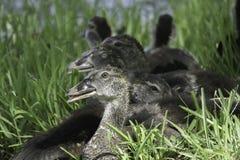 Die Türkei-Geier junge Hatchlings lizenzfreie stockfotos