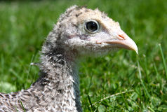 Die Türkei-junges Geflügeltier Lizenzfreies Stockfoto