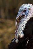 Die Türkei-Kopf Stockfoto
