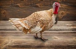 Die Türkei-Vogel Stockbild