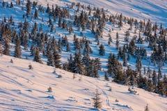 Die Tannenbäume, die im Schnee im Sonnenuntergang bedeckt werden, beleuchten Stockbild
