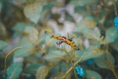Die tapfere drastische Libelle Lizenzfreie Stockfotografie