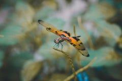 Die tapfere drastische Libelle Lizenzfreie Stockbilder
