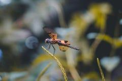 Die tapfere drastische Libelle Stockbild