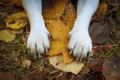Die Tatzen des schmutziger Hundes auf den Blättern stockbild