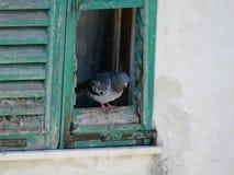 Die Taube 2 Lizenzfreies Stockbild