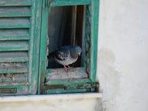Die Taube 2 stockfoto