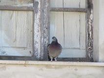 Die Taube 2 stockbilder