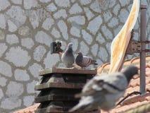 Die Taube 2 lizenzfreies stockfoto