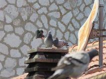 Die Taube 2 stockbild