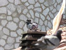 Die Taube 2 lizenzfreie stockfotografie