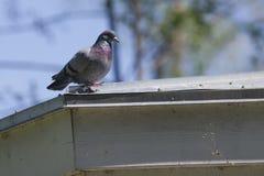 Die Taube auf dem Dach Stockfoto