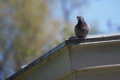 Die Taube auf dem Dach Stockbild