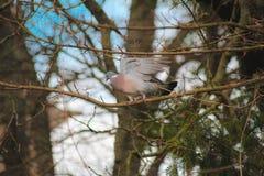Die Taube bereitet vor sich zu fliegen stockfotos