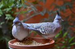 Die Taube erklommen stockfotografie