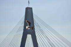 Die Taube fliegt über eine ausgedehnte Brücke Stockbild