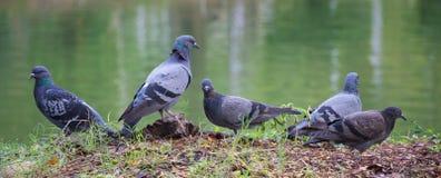Die Taube Ganster lizenzfreies stockbild