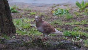 Die Taube geht auf den Rasen mit dem Gras, das im Vorfr?hling w?chst Blaue Blumen Scilla zwischen den B?umen April-Regen stock footage