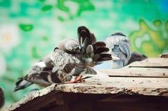 Die Taube reinigt seine Federn stockfoto