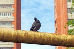 Die Taube sitzt auf dem rostigen Rohr im Gelb Lizenzfreie Stockfotos
