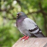 Die Taube sitzt im Vogelhaus stockbild