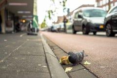 Die Taube steht auf dem Bürgersteig ein Sandwich essend stockbilder