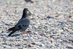 Die Taube steht auf dem Ufer, das mit Kieseln gestreut wird Stockfotos