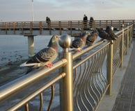 Die Tauben des Meeres Stockfotos