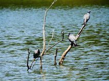 Die 3 Taubenmusketiere, die auf einer Niederlassung sitzen lizenzfreies stockfoto