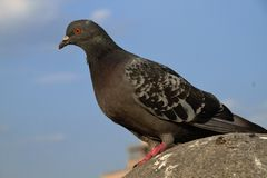 Die Taubennahaufnahme, die auf dem Stein sitzt Lizenzfreies Stockfoto