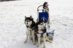 Die Teamschlittenhunde Lizenzfreies Stockfoto