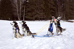 Die Teamschlittenhunde Stockfotos